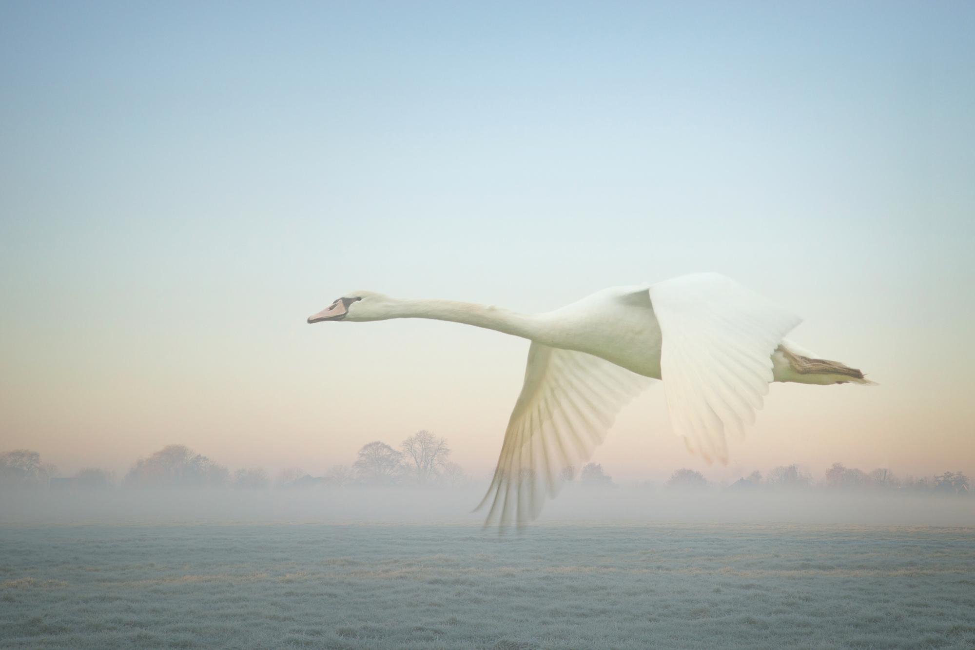 Mieke Verwoerd, vliegende zwaan in polder